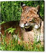 The Bobcat's Afternoon Nap Canvas Print