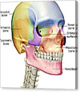 The Bones Of The Head, Neck And Face Canvas Print