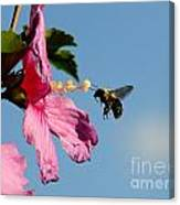 The Bumblebee And The Rose If Sharon Canvas Print