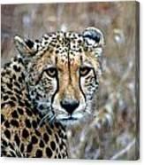 The Cheetah Stare Canvas Print