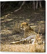 The Cheetah Wakes Up Canvas Print