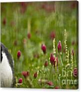 The Clover Field Canvas Print