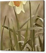 The Daffodil In Partial Sepia Canvas Print