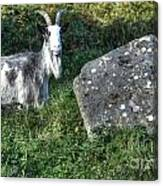 The Goat And The Stone Canvas Print