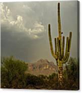 The Golden Saguaro  Canvas Print