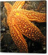 The Great Starfish Canvas Print