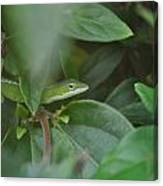 The Green Lizard Canvas Print