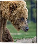 The Grizzly In Spring Canvas Print