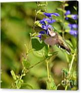 The Hummers Muzzle  Canvas Print