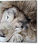 The Lion Sleeps Canvas Print