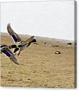 The Mallard Ducks Flight Canvas Print