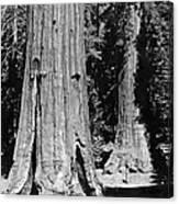 The Mariposa Grove In Yosemite Canvas Print