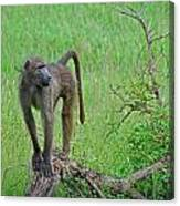 The Mighty Baboon Canvas Print