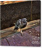 The Mighty Pigeon Canvas Print
