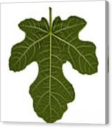 The Mission Fig Leaf Canvas Print