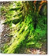 The Moss Covered Roots Canvas Print