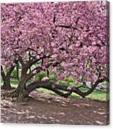 The Most Beautiful Cherry Tree Canvas Print