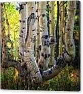 The Multiple Trunk Aspen Tree Canvas Print