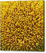 The Nature Of A Sunflower Canvas Print