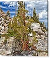 The Old Tree And The Cliff Canvas Print
