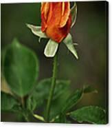 The Orange Rose Canvas Print