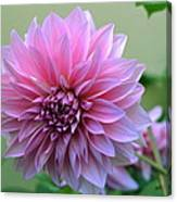 The Pink Dahlia-flower2 Canvas Print