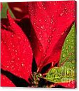 The Poinsettia Canvas Print