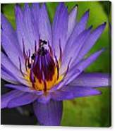 The Purple Lotus. Canvas Print