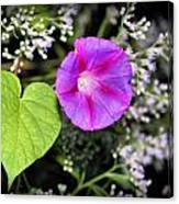 The Queen's Morning Glory Canvas Print