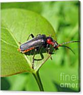 The Rednecked Bug- Close Up 2 Canvas Print