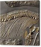 The Ribs And Spine Of Ichthyosaur Canvas Print