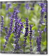 The Smell Of Lavender  Canvas Print