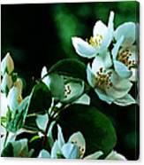 The Soft White Blossom  Canvas Print