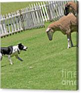 The Stare - Border Collie At Work Canvas Print