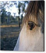 The Staring Eye Of A Clydesdale Horse Canvas Print