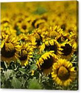 The Sunflower Patch II Canvas Print