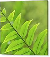 The Tip Of A Fern Canvas Print