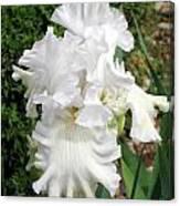 The White Iris Canvas Print
