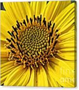Thinleaf Sunflower Canvas Print