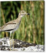 This Is Botswana No.  5 - Water Thick-knee Canvas Print