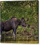 This Is Our World - No.16 - Moose Eating By The Lake Canvas Print