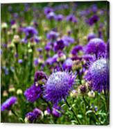 Thistle Field Canvas Print