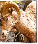 Thompson Falls Ram Canvas Print