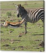 Thomson's Gazelle Running At Full Speed Canvas Print