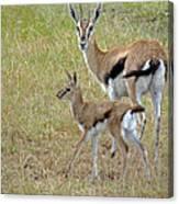 Thomsons Gazelle Canvas Print