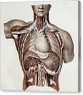 Thoracic Nerves, 1844 Artwork Canvas Print