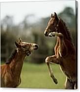 Thoroughbred Foals Playing Canvas Print