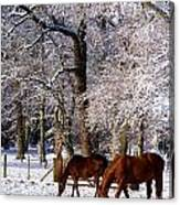 Thoroughbred Horses, Mares In Snow Canvas Print