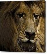Thoughtful Lion Canvas Print