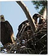 Three Bald Eagles In The Nest Canvas Print